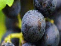 Nuestra uva tempranillo