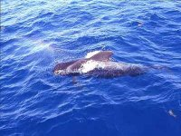 Dolphins on the coast of Tenerife