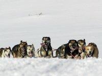 Grupo de perros de tiro