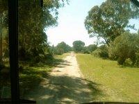 Caminos entre pinares por Doñana