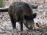 Wild boar in the field