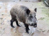 Wild boar in the mud