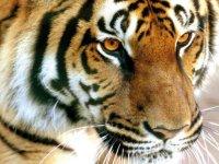 El gran tigre de Bengala