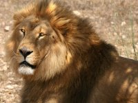 狮子的大官家庭莱昂前老虎对