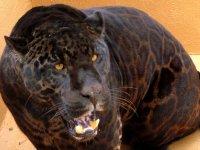 总线Safari的一个美丽的捷豹
