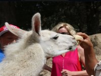our llamas like bread