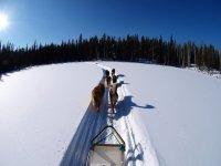 狗在雪地狗拉雪橇狗雪橇犬
