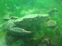 Marine crab