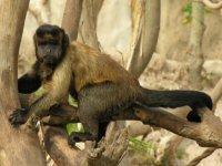 diviertete con el mono capuchino