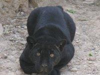 nuestro jaguar observando