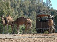 Camellos de la Reserva
