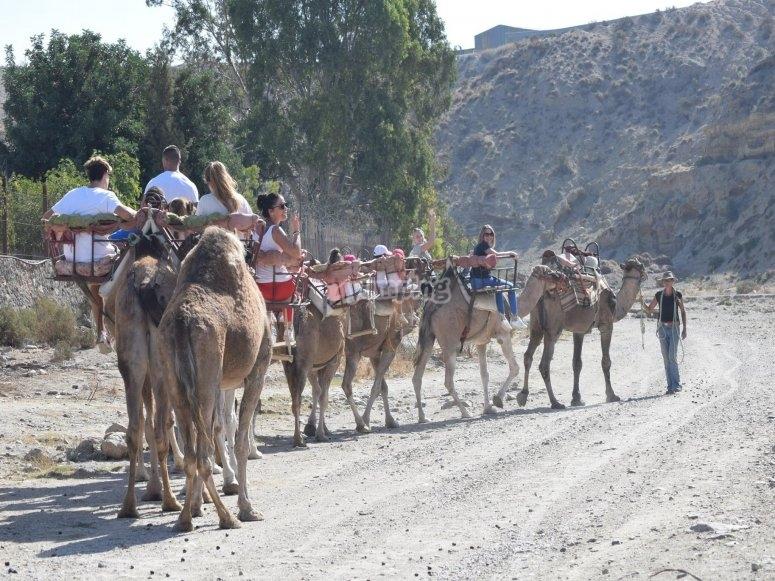 Camellos en fila y con pasajeros