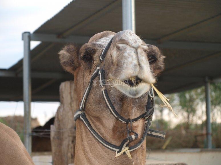 Camello en Almería