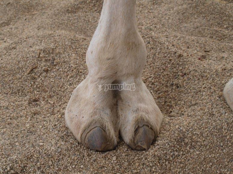 Pata de camello