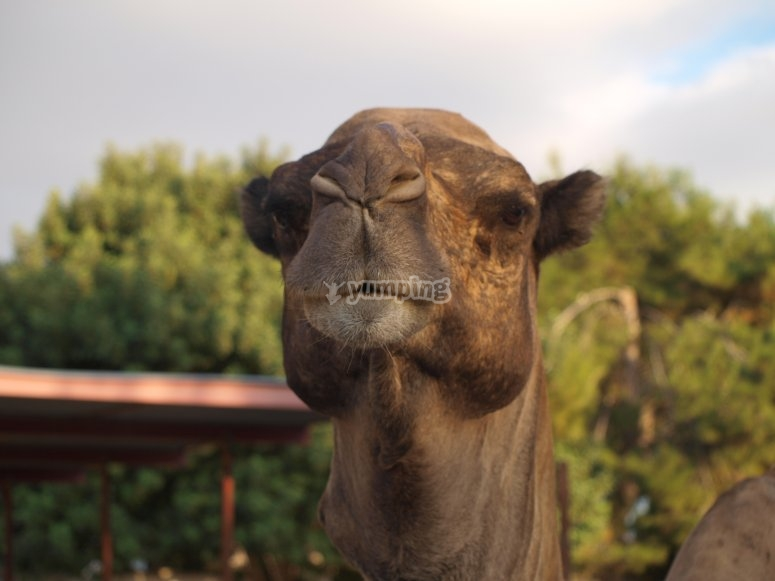 El jefe de los camellos