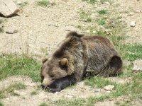 El oso pardo en Andorra