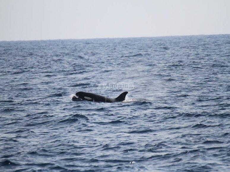 塔里法观赏虎鲸