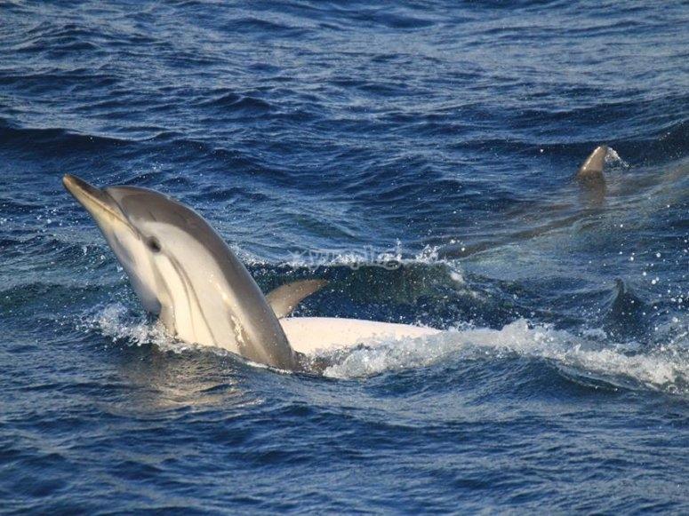 海豚在海峡水域中盘旋