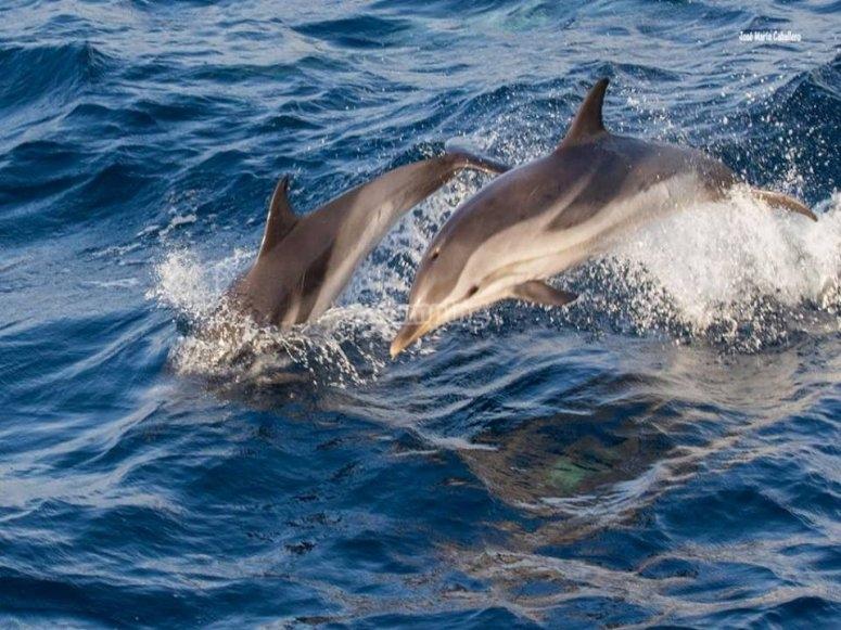 海豚在塔里法跳跃