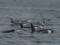 A bunch of killer whales in Tarifa