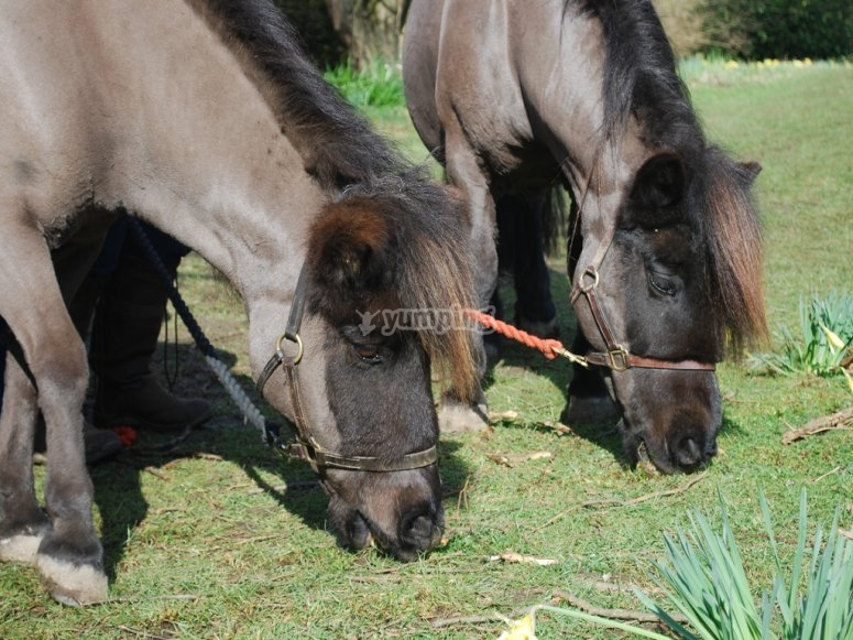 Ponies eating