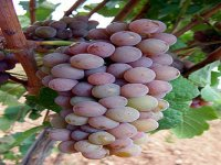 不同类型的葡萄