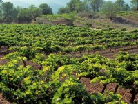 Recorre los viñedos de la bodega