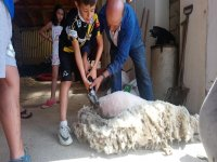 Esquilando a la oveja