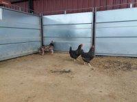 Nuestras simpaticas gallinas