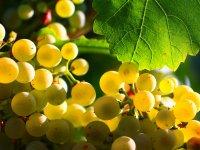 Uvas albarin