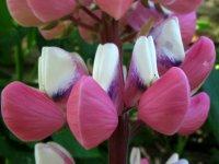 Preciosa flora