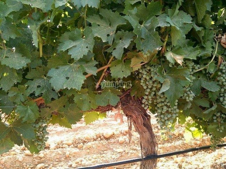 Prueba algunos de los mejores vinos manchegos en Casas-Ibáñez