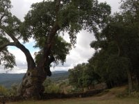 Cork oak in Grazalema