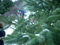 Leaves of fir trees