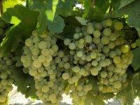 Uvas blancas en la vid