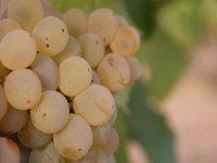 La garnacha blanca es nuestra uva