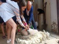 Aprendiendo a esquilar a la oveja