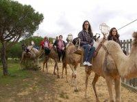 Camello en Almonte