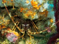 Palamos龙虾