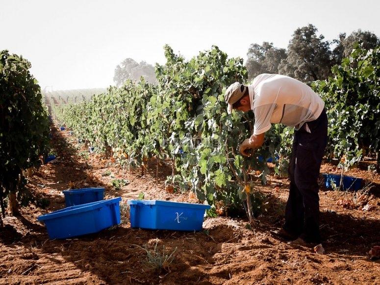 Cortando el fruto