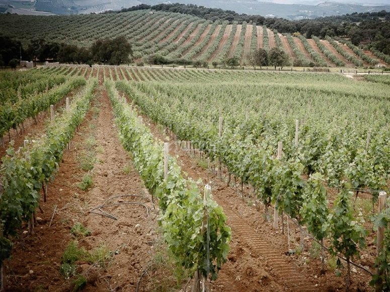 Vinedo en Malaga