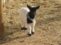 Bebe cabra