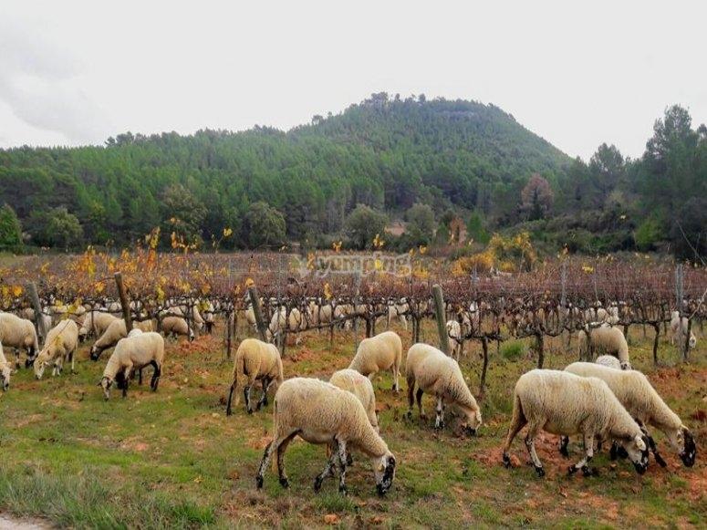 Ovejas pastando en los viñedos