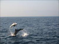 Preciosos杂技海豚对海豚的