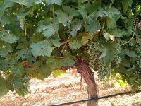 Uvas de vino blanco