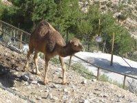 组织单峰骆驼4x4的河马睡觉