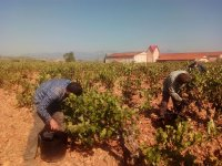 Cogiendo la uva