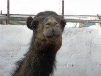 Primer plano de camello