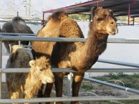 Madre y cria de camellos