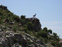 cabra montesa sobre el monte